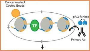 CUT&RUN from Cell Signaling Technology