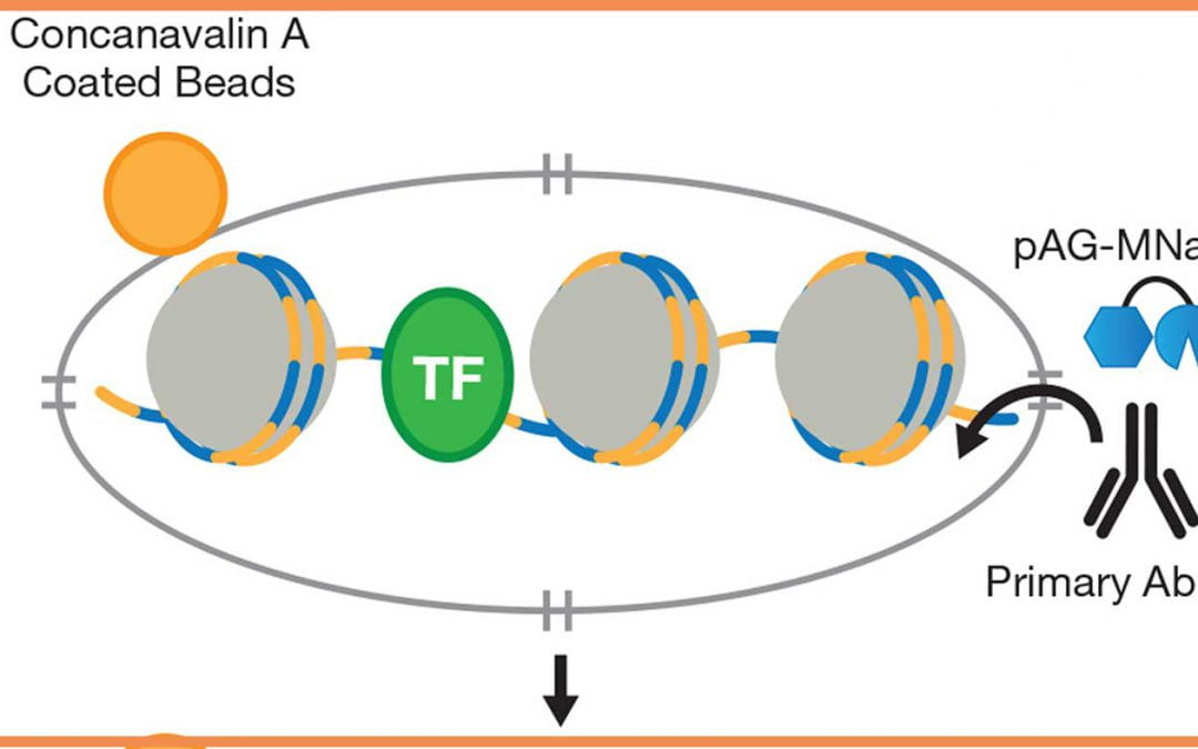 Mapping protein-DNA interactions in chromatin using CUT&RUN