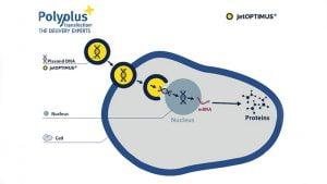 Polyplus Jetoptimus Dna Transfection