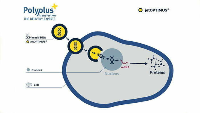 DNA transfection. Advanced nanotechnology: Superior gene expression using less material.